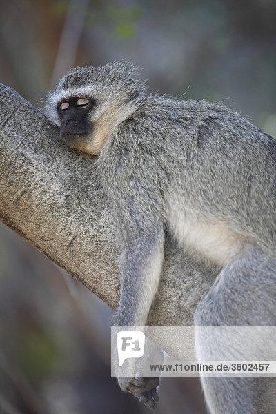 Südliche Grünmeerkatze (Chlorocebus pygerythrus) schläft auf einem Baum  Pilanesberg-Nationalpark  Südafrika