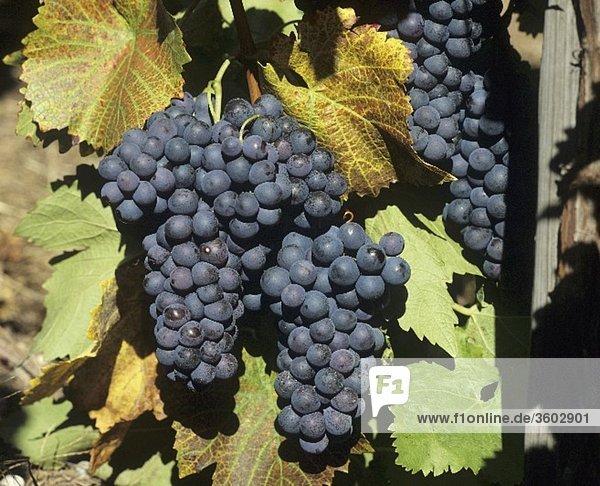 Blaue Trauben mit buntem Weinlaub