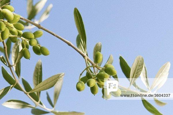 Oliven am Zweig