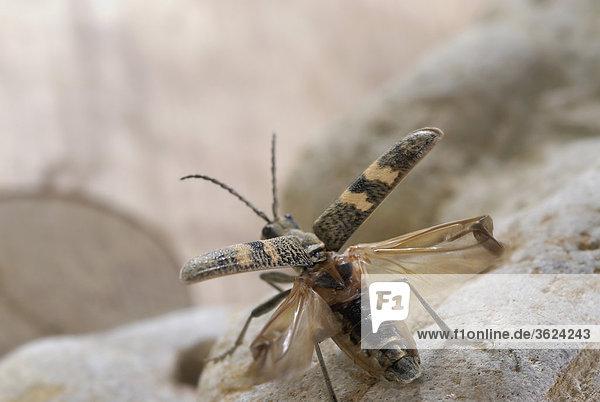 Nahaufnahme des Käfer auf einem Felsen
