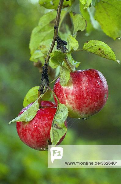 Nahaufnahme zwei Äpfel