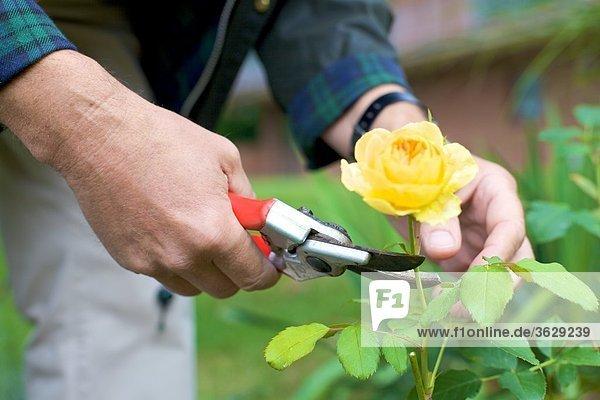 Mann beschneidet Rosen im Garten  close-up