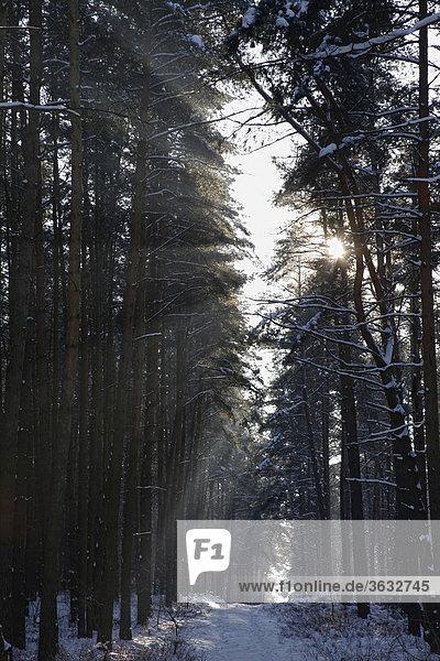 Ein Waldweg in der Winterlandschaft von Moryn  Polen  Europa