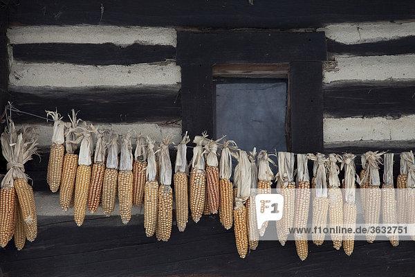 Zum Trocknen aufgehängte Maiskolben an einer alten Hütte im Spreewald  Brandenburg  Deutschland  Europa