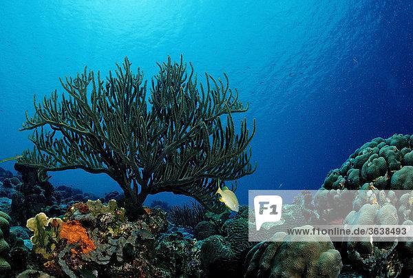 Caribbean coral reef  Trinidad  Caribbean Sea
