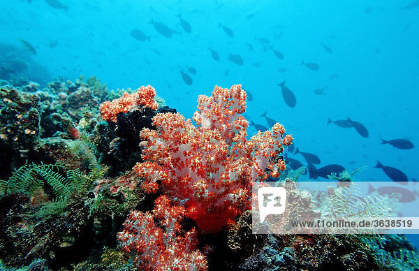 Coral reef with Red Soft Coral  Indian Ocean  Maldives