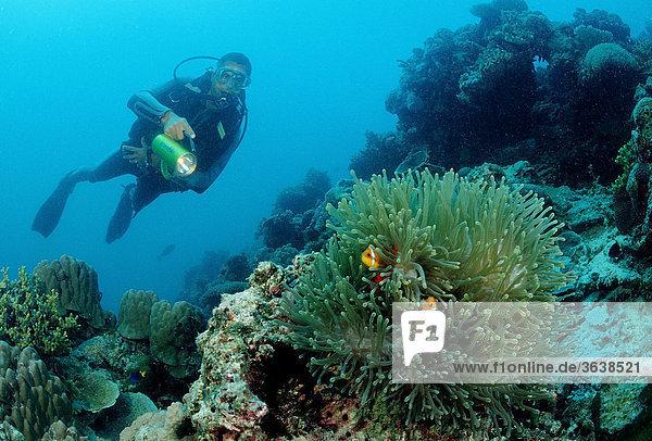 Malediven-Anemonenfische (Amphiprion nigripes) und Taucher  Indischer Ozean  Malediven