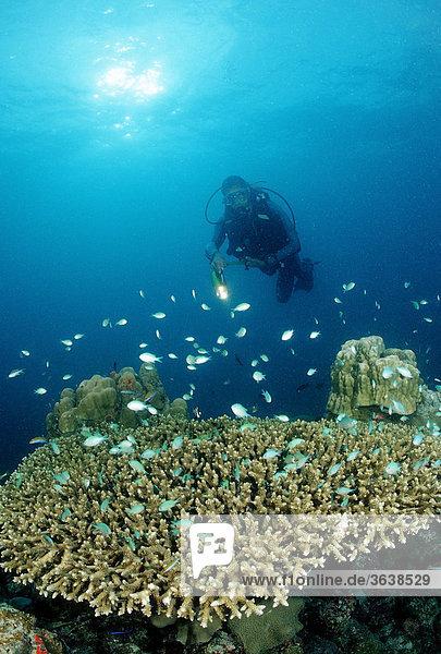 Taucher und Tischkoralle mit Korallenfischen (Chromis viridis)  Indischer Ozean  Malediven