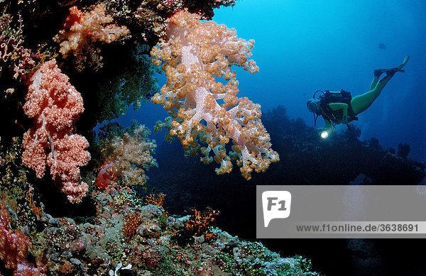 Scuba diver and a coral reef  Maldive Islands  Indian Ocean