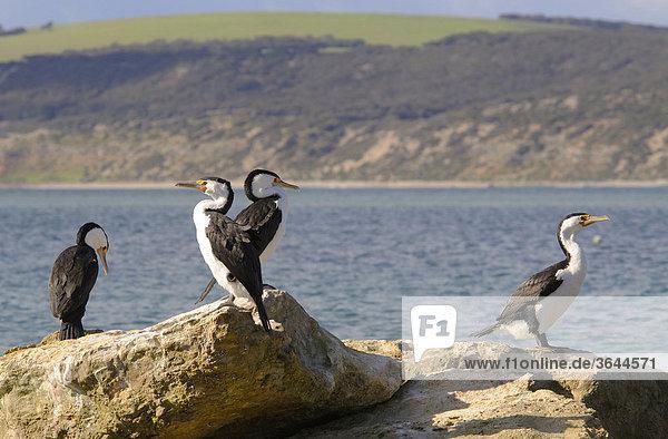 Australische Zwergscharben (Phalacrocorax melanoleucos)  Kangaroo Island  Australien