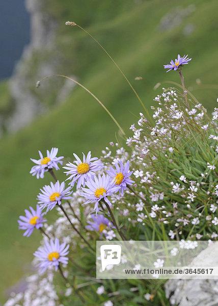 Berg-Aster (Aster amellus) oder Kalk-Aster  Wanderung über den Velky Rozsutec  1609m  Mala Fatra Nationalpark  Slowakei  Europa
