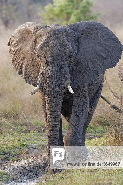 Elefant (Loxodonta africana)  Mudumu Nationalpark  Namibia