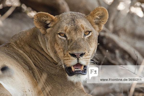 Löwin (Panthera leo)  Chobe Nationalpark  Botsuana  Afrika