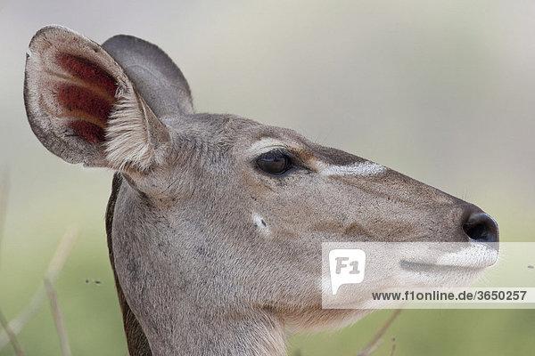 Großer Kudu (Tragelaphus strepsiceros)  Chobe Nationalpark  Botsuana  Afrika