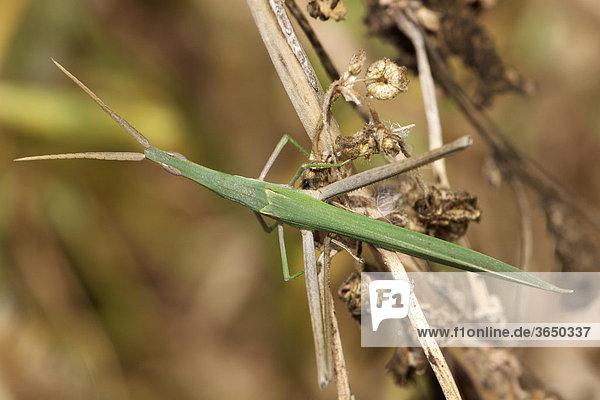 Gespenstschrecke (Phasmatodea)  Marokko