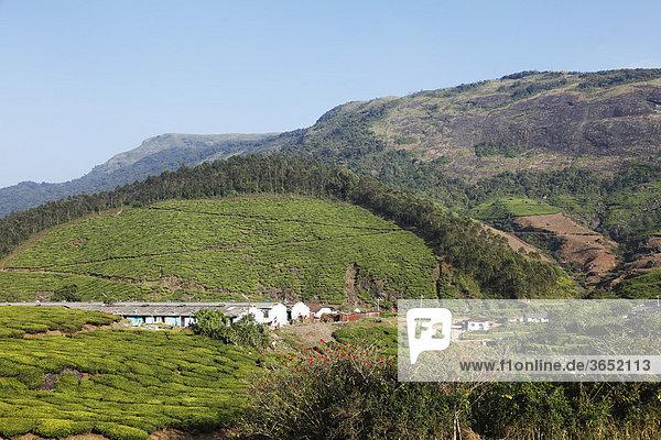 Häuser von Teepflückern in Teeplantagen  Hochland um Munnar  Western Ghats  Kerala  Südindien  Indien  Südasien  Asien