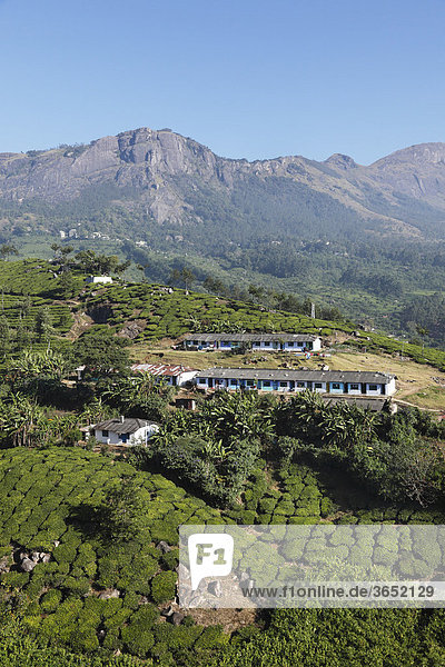 Teepflücker-Siedlung  Teeplantagen  Hochland um Munnar  Western Ghats  Kerala  Südindien  Indien  Südasien  Asien