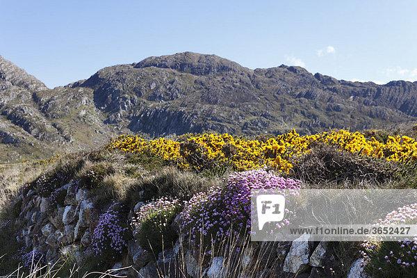 Frühlingslandschaft mit Grasnelken und Ginster  Slieve Miskish Mountains  Beara-Halbinsel  County Cork  Irland  Britische Inseln  Europa