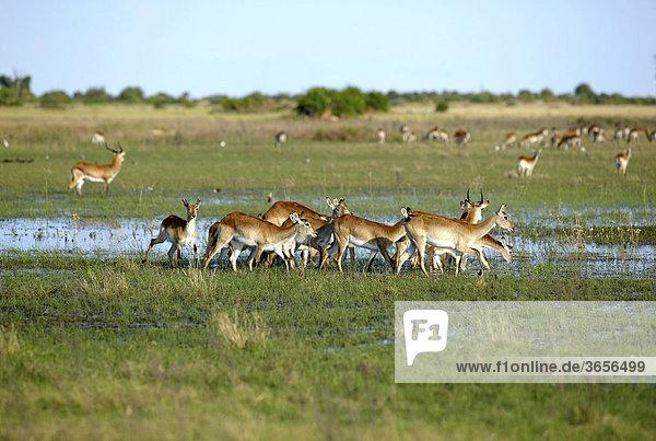 Letschwe (Kobus leche)  Okavango-Delta  Botsuana  Afrika