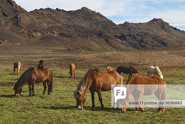 Islandpferde  Reykanes  Island  Europa