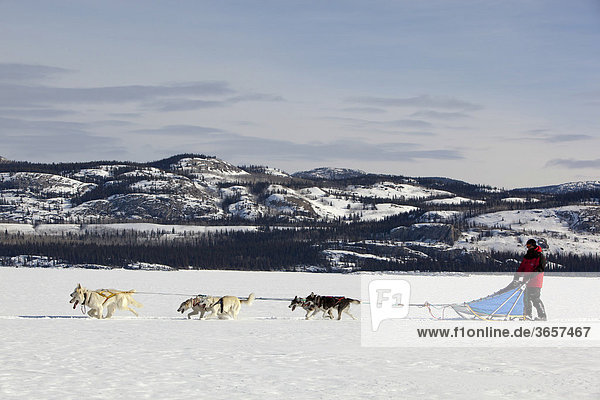 Mann  Musher mit Schlittenhundegespann  lenkt Hundeschlitten  Team von Schlittenhunden  Alaskan Huskies  dahinter Berge  gefrorener Lake Laberge See  Yukon Territorium  Kanada