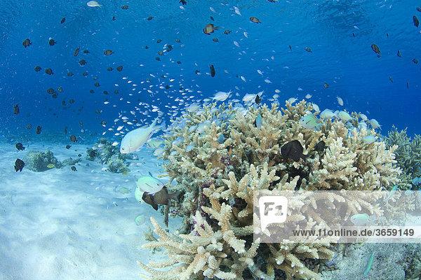 Koralle  Insel Keramasyotou  Japan  Asien