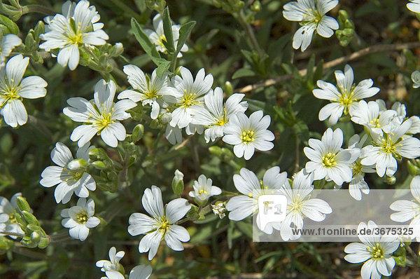Hornkraut Cerastium tomentosum Niederösterreich