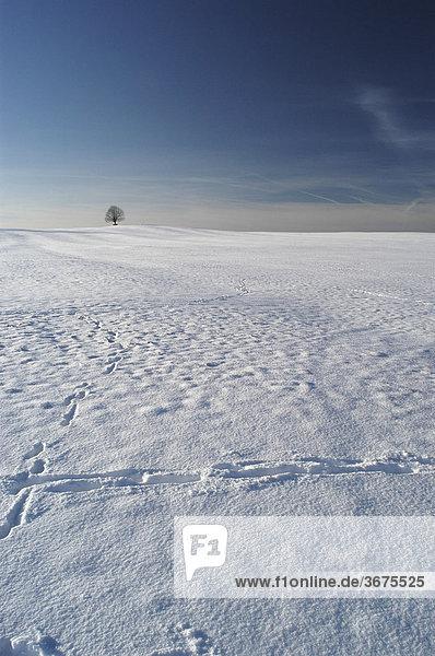 Allein stehender Baum auf verschneitem Feld  Irschenberg  Oberbayern  Deutschland
