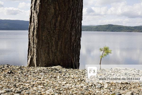 Kleine Kiefer neben großem Baum am See