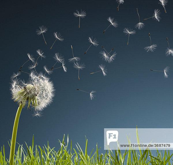 Samen einer Pusteblume wehen weg