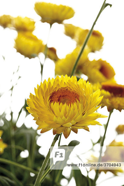 Strawflowers or Everlasting (Helichrysum)