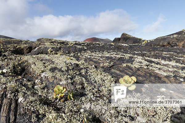 Lava-Felsen mit Flechten und Aeonium  Lanzarote  Kanaren  Kanarische Inseln  Spanien  Europa