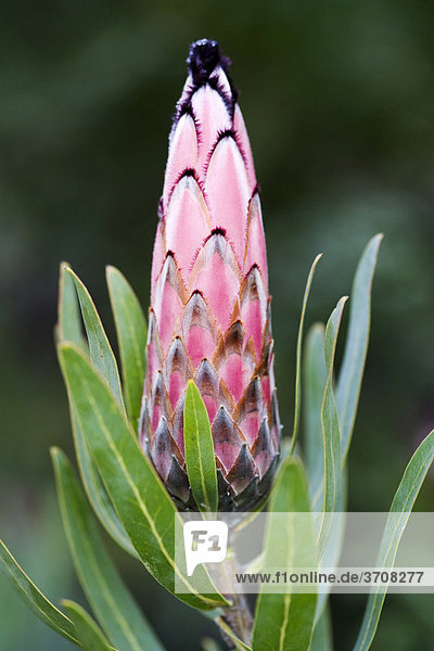 Südafrikanischer Zuckerbusch (Protea laurifolia)  Blüte  Western Cape  Südafrika