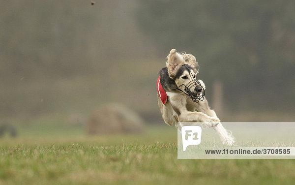 Saluki  Windhund Coursing  Hoope  Niedersachsen  Deutschland  Europa