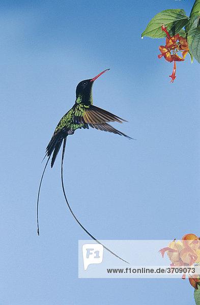 Wimpelschwanz (trochilus polytmus)  fliegendes Männchen frisst an Blume  Rocklands  Montego Bay  Jamaika  Karibik