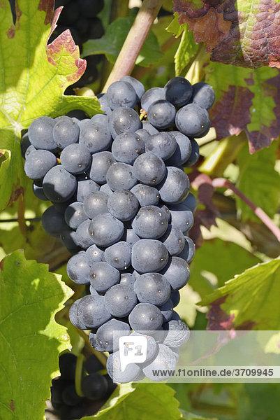 Reife blaue Rotwein Traube am Rebstock  Oberotterbach  Pfalz  Rheinland-Pfalz  Deutschland  Europa