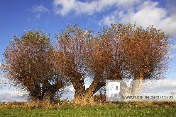 Weiden  Kopfweiden (Salix spec.) im Herbst  Klützer Winkel  Kreis Nordwestmecklenburg  Mecklenburg-Vorpommern  Deutschland  Europa Weiden, Kopfweiden (Salix spec.) im Herbst, Klützer Winkel, Kreis Nordwestmecklenburg, Mecklenburg-Vorpommern, Deutschland, Europa