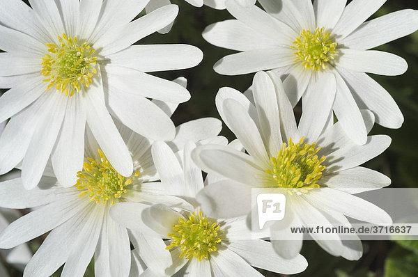 Frühling Balkan Anemone Anemone blanda Blüte