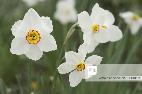 Narcissus poeticus Dichternarzisse Osterglocke