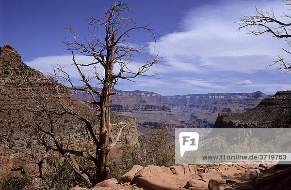 Abgestorbener Baum am Bright Angel Trail  Grand Canyon  Arizona  USA