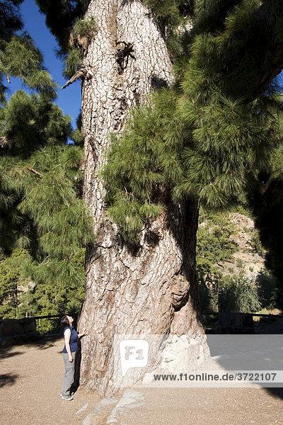 Pino Gordo - alte Kanarische Kiefer Pino canariensis mit 45  12 m Höhe und 3  1 m Durchmesser - Vilaflor Teneriffa Kanaren