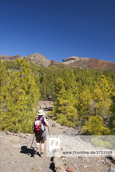 Hiking trail pine forest near Vilaflor Tenerife Canary Islands Spain