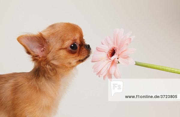 Welpen Chihuahua Welpen Chihuahua