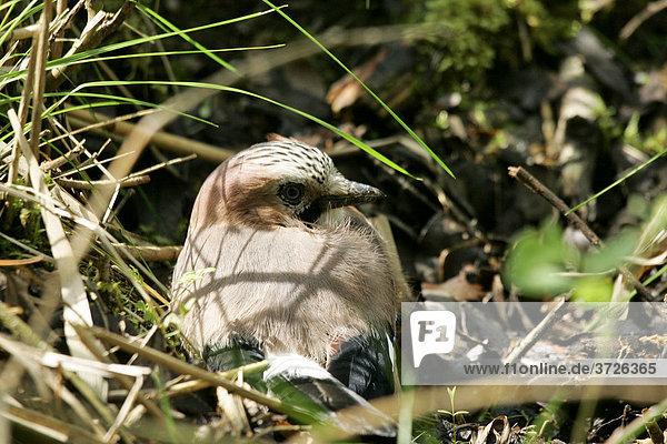 Junger Eichelhäher (Garrulus glandarius) auf dem Waldboden