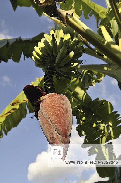 Inflorescence with fruit of a Banana tree (Musa acuminata)
