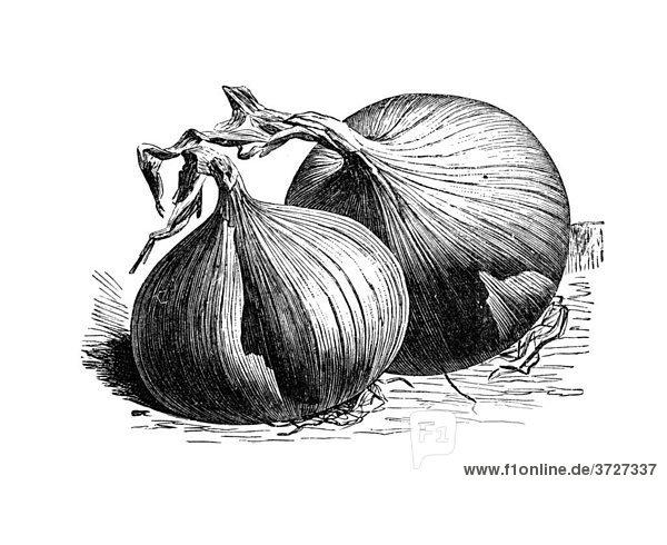 Zittauer Riesenzwiebel  historische Illustration aus: Theodor Lange: Allgemeines Illustriertes Gartenbuch  Bd. 2  1902  S. 150  Abb. 151