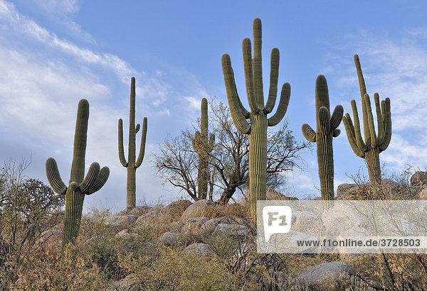 Saguaro-Kakteen  Kandelaber-Kakteen  Säulenkakteen (Carnegiea gigantea) in der Abendsonne  Catalina State Park  Tucson  Arizona  USA