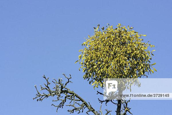Blühende Mistel  Laubholzmistel (Viscum album) auf der Spitze eines Apfelbaums