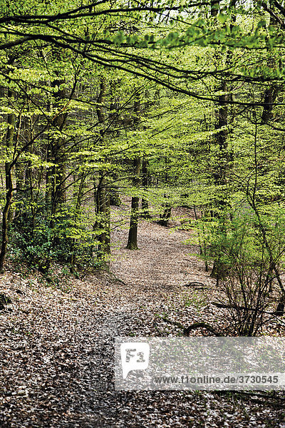 Walking trail in a Beech forest (Fagus)