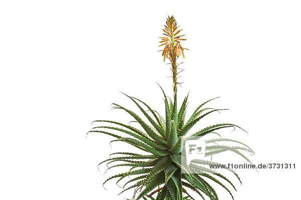 Aloe Vera mit Blüte